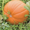 Pumpkin image copy